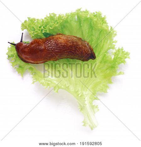 land slug and lettuce isolated over white