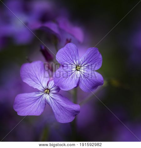 Beautiful Shallow Depth Of Field Close Up Image Of Honesty Flower Lunaria Annua