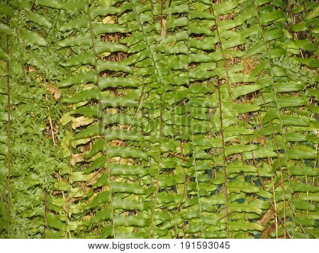Polystichum munitum, the western sword fern, is an evergreen fern native to western North America