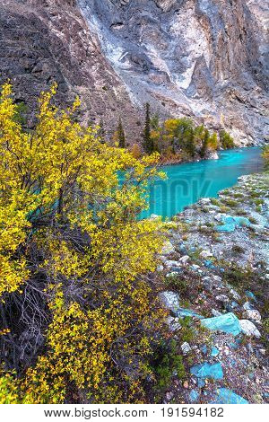 The turquoise river and tree with brightly yellow leaves in the foreground. Landscape mountain Altai Russia.