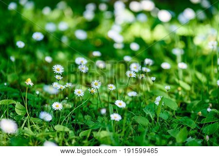 Small White Flowers In Meadow