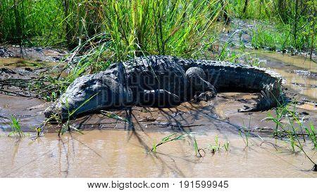 The Nile crocodile in Chamo lake in Nechisar national park Ethiopia