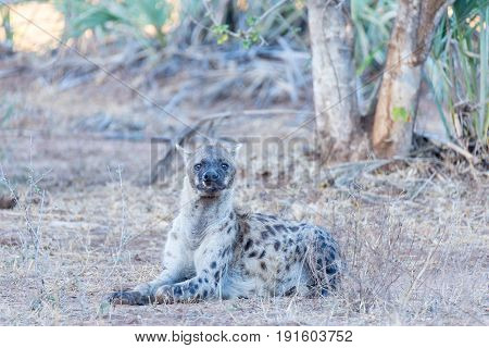 Close Up And Portrait Of A Cute Spotted Hyena Lying Down In The Bush. Wildlife Safari In Kruger Nati