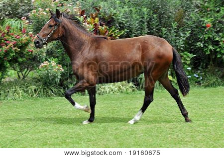 """Peruvian horse """"Caballo de Paso"""" galloping on grass with motion blour on the legs poster"""