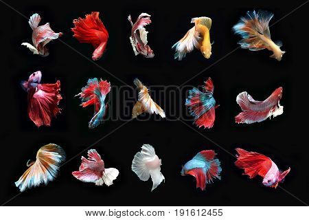 Total beautiful Fighting fish On a black background.