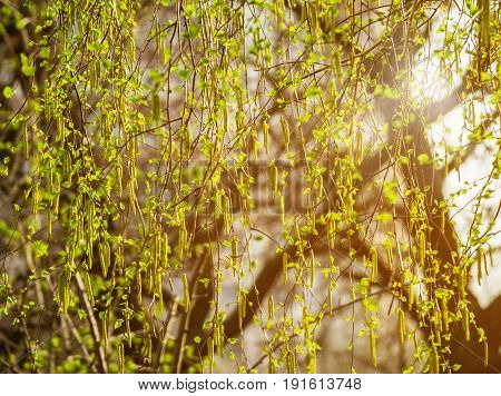 Birch branches with catkins. Spring blossom tree birch with young green leaves on twigs. Beginning of new life. A lot of birch catkins and small leaves. Sunny spring background under the bright sun.