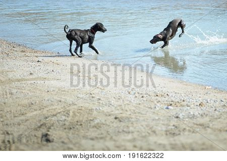 Two dogs playing and running at the beach