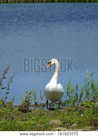 Mute swan standing at the edge of a large pond