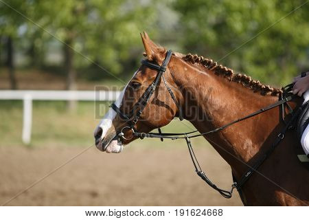 Sport horse in action with braided mane