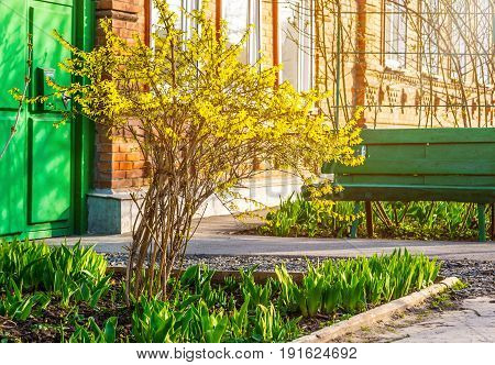 Bush of yellow forsythia flowers against the wall with window and bench. Blooming forsythia against white window at brick wall.