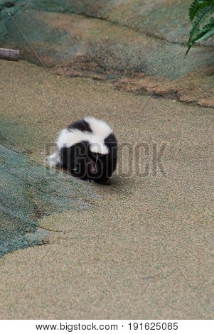 Black and white skunk waddling along in Florida.