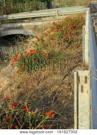 Spanish Flag Flowers On Roadside Verge