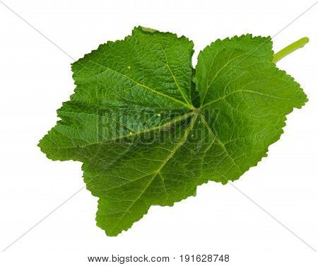 Leaves Of Fresh Green Burdock Plant Isolated On White