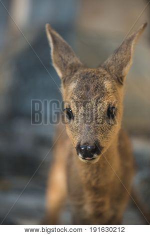 Roe deer fawn standing in zoo