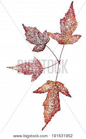 Dry Leaf Skeleton Macro Close Up Isolated