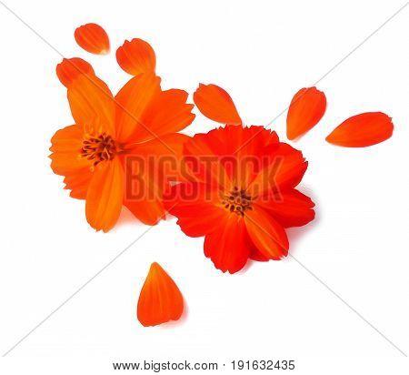 Light Tender Air Petals Flew Around Purslane Flower On White Background, Photo Manipulation