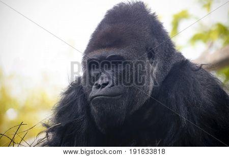 A Close Portrait of a Pensive Western Lowland Silverback Gorilla