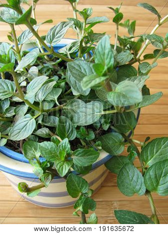 Chocolates mint with leaves in herb pot