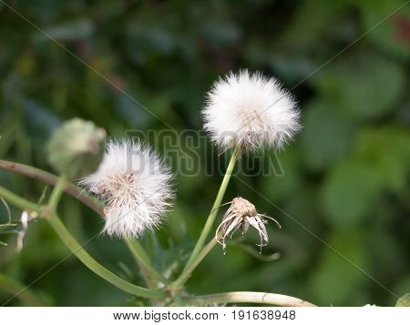 Clear White Dandelion Flower Head In Grass Isolated