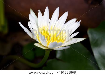 Blossom white lotus flower with selective fosue