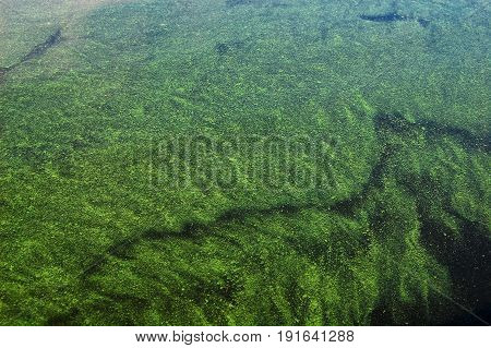 Green Alga On The Water Surface