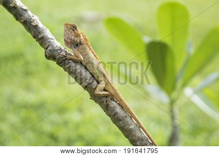 Angry orange lizzard  in the sun on a tree with leaves and grass in the background, Koh Mook, Thailand