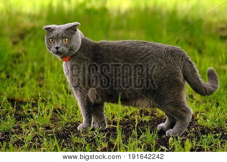 beautiful portrait of a Scottish fold cat walks in the country