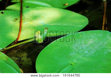 Fruit Of Yellow Water-lily. Spatter-dock In The Pond