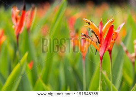 Birds Of Paradise Flower And Plant, Thrives In Tropical Climate