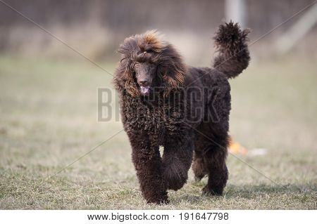 Beautiful purebred brown poodle walking in nature.