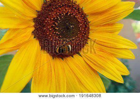 Bee Sucks Nectar On Sunflower