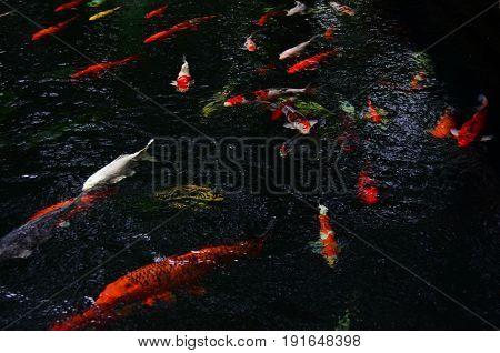 Top view of colorful koi carp fish swimming in dark pond