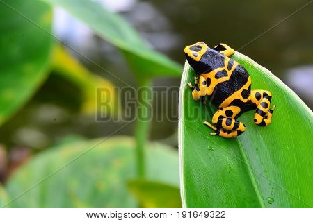A poison dart frog sits on a leaf watching the day go by