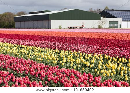 Dutch farmland with barn and colorful tulip fields