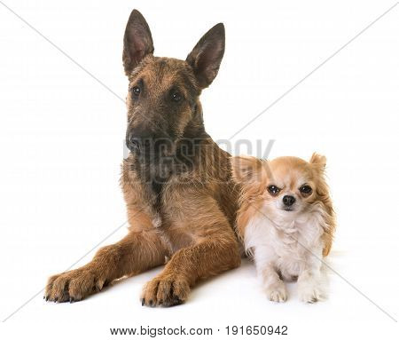 puppy belgian shepherd laekenois and chihuahua in front of white background