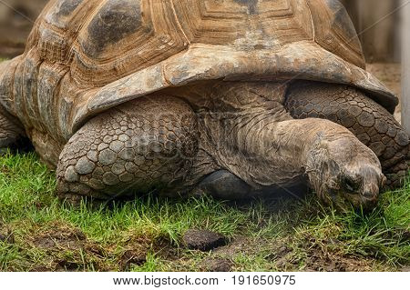 Giant turtle on the Seychelles in the Indian Ocean.
