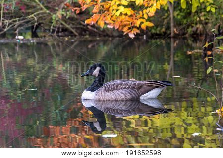 A canadian goose on a lake during autumn colors