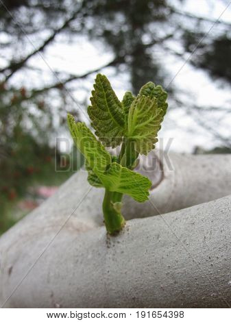 New life idea concept with growing sprout from white mulberry tree ( Morus alba ) . Tuscany Italy