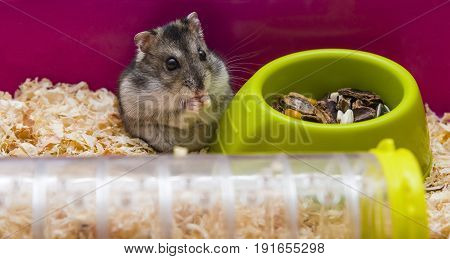 Gray hamster in a cage. grey closeup colouration fluffy