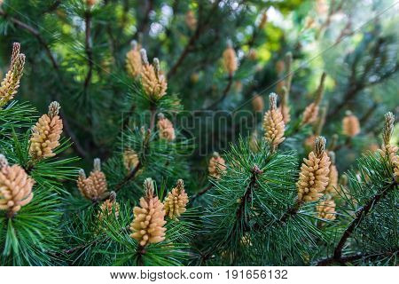 Blooming Pine Bud. The Power of nature.