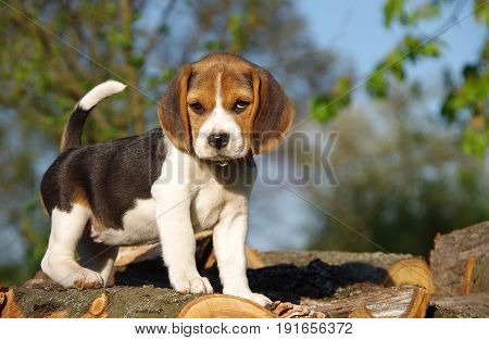 Beautiful beagle puppy in nature in spring