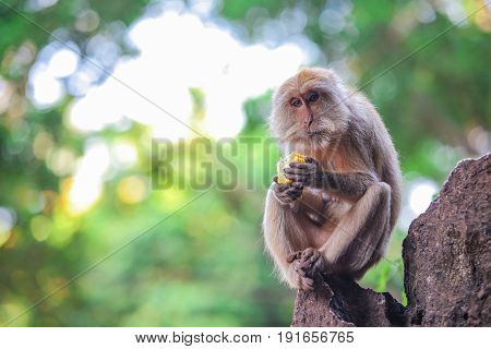 Drammatic monkey siting on rock and eating corn