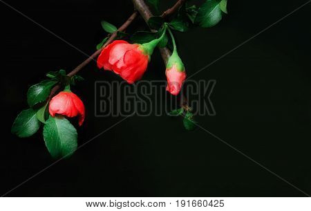 Red buds of Japanese Quince on a black background. Greeting card space for copy selective soft focus.
