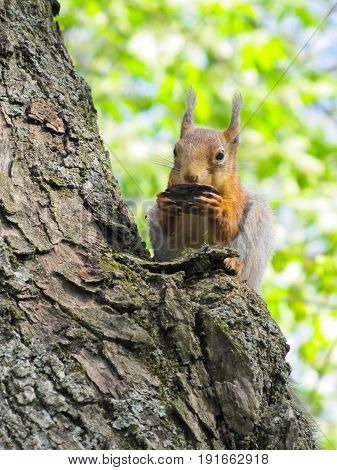 a red squirrel sits high in a tree and eats nuts
