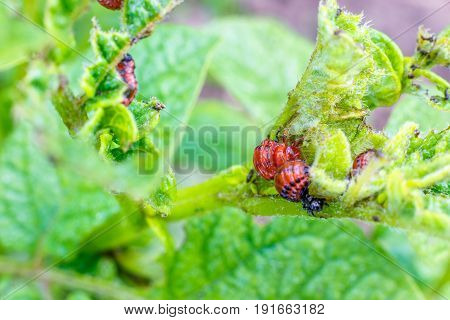 The Larva Of The Colorado Potato Beetle .