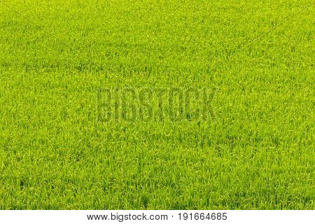 Green Rice Field In Aso, Japan