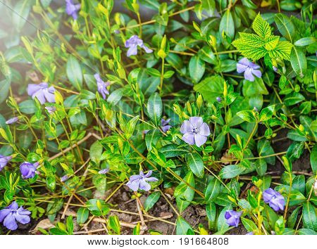 Periwinkle plant with green leaves and blue flowers Five-petalled. Blue periwinkle flower. Wild Vinca (Periwinkle) flower head and forest vegetation.