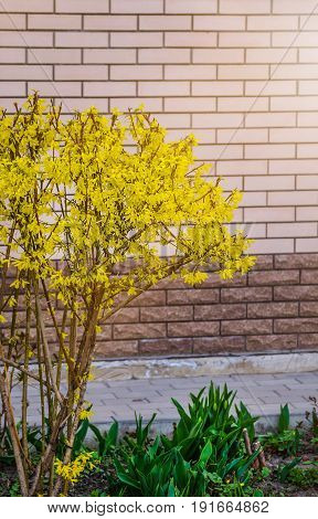 Forsythia flowers in front of with green grass and blue sky. Golden Bell, Border Forsythia (Forsythia x intermedia, europaea) blooming in spring garden bush.