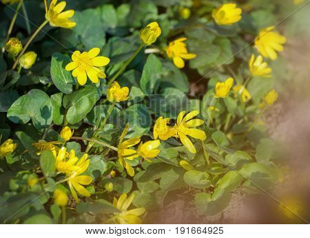 Caltha palustris, or Kingcup or Marsh Marigold in late afternoon sunlight. Flower bed in spring.