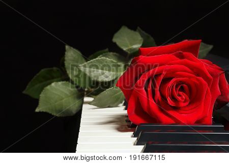 Scarlet rose on keyboard of the piano on a black background